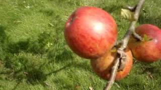Apple Variety Ellison's Orange