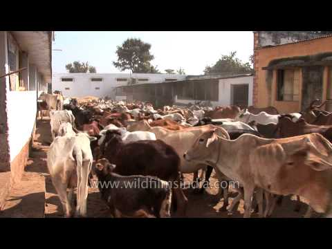 Cows riot on the streets of Nagpur!