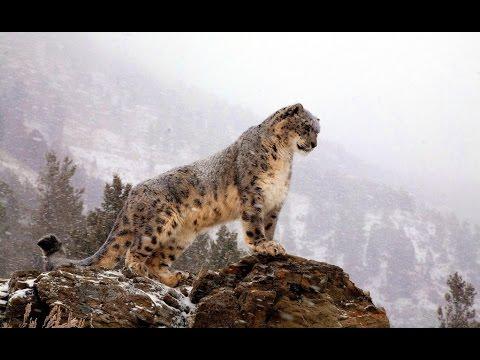 Афганистана: Снежный Барс: WILD HD