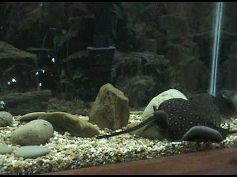 55 gallon aquarium freshwater stingrays youtube for Stingray fish tank