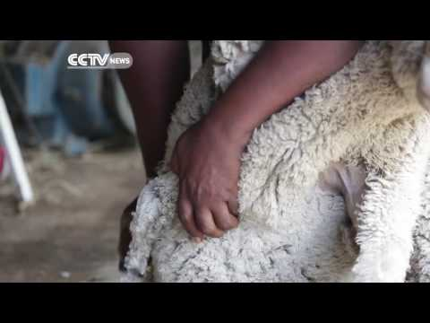 Faces of Africa - Shweni: The man with the golden shears (Promo)