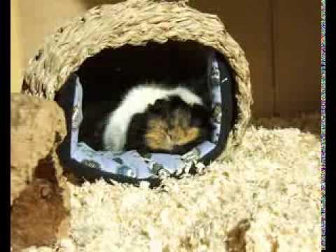 schlafende Meerschweinchen - Sonnenbad bei den Öttis