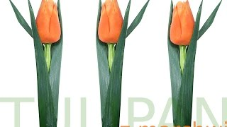 030. Free fruit carving course carrot tulip / Darmowy kurs carvingu tulipan z marchwi