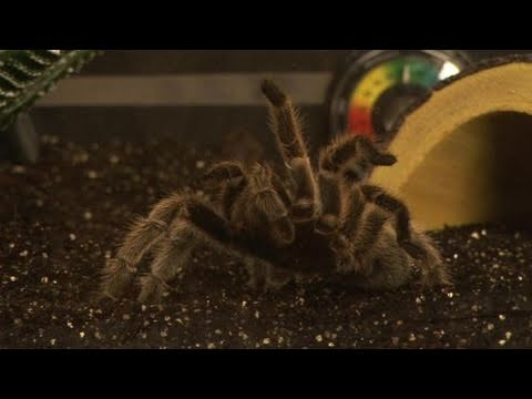 How To Take Care Of Tarantulas