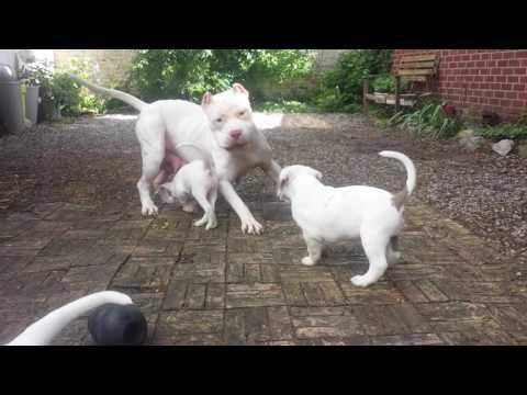 xl rednose pitbull playing