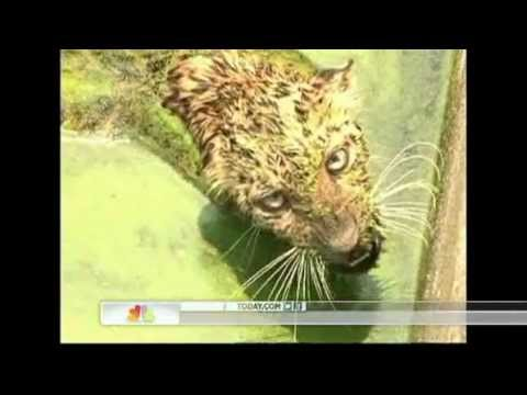 Clever Leopard escapes slimy well by climbing ladder.