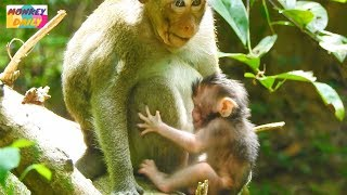 OMG! Young monkey catch just 3 days newborn baby|Pity! What happen to newborn next?|Monkey Daily 775