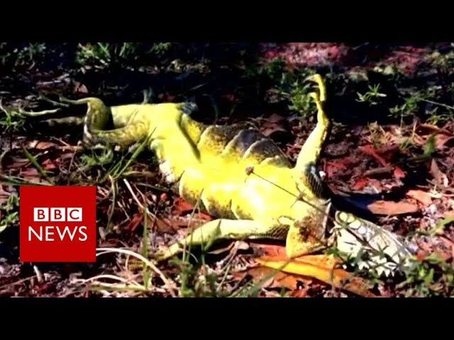 Why are iguanas falling out of trees? - BBC News