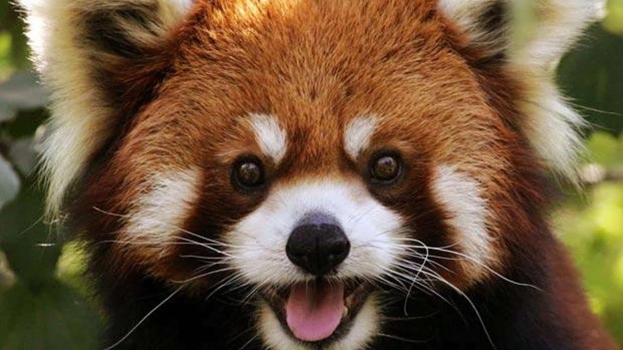 red panda baby reaction   too cute   youtube