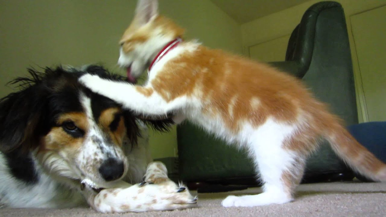 Cat Bothering Dog