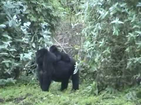 Gorillas in Rwanda, Africa 2006 Video