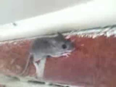 mouse climbing wall - YouTube