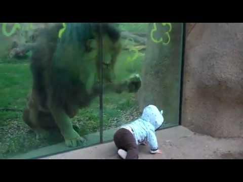 singa berusaha menyerang bayi ~ tapi apalah daya