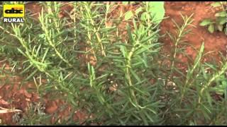 Cultivo y combinación de plantas medicinales