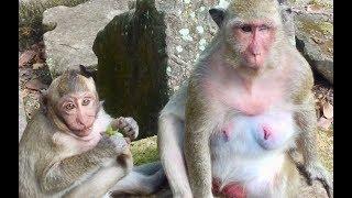 Sweet pea spoil baby monkey so sad, popeye mom not give milk to day,