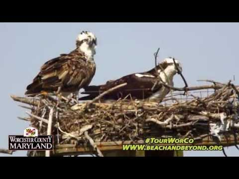 'The Osprey' - For Worcester County Tourism