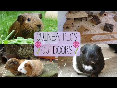 Guinea Pigs Outdoors | VLOG