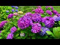 Cottage Farms 2-Piece Blue Eyed Baby Hydrangea on QVC