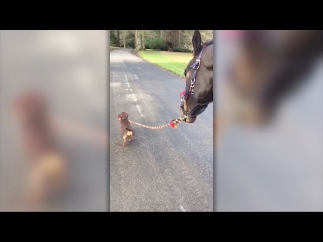 Dog leads horse for a walk