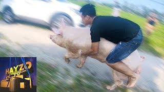 HAYZOtv - Thử Thách Đua Lợn ( cưỡi heo )