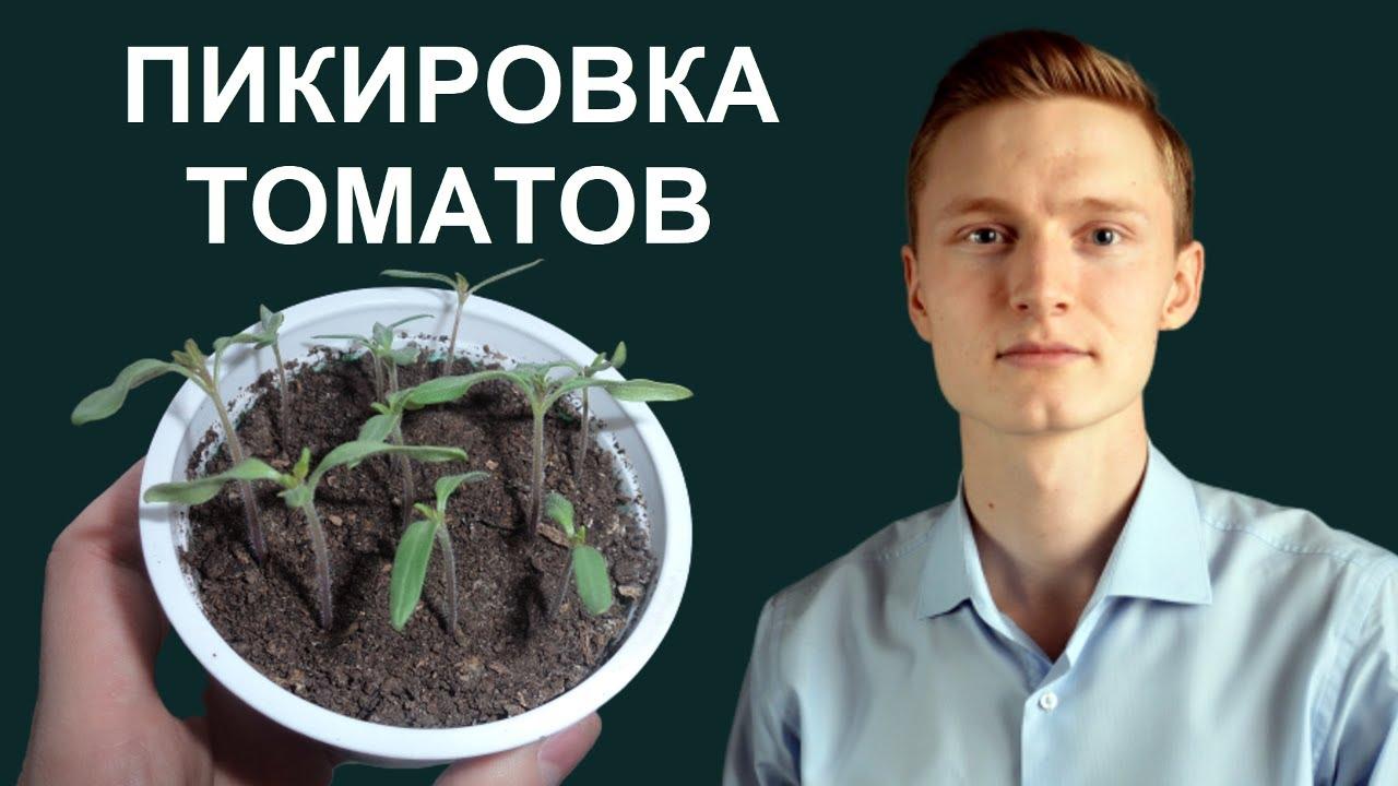 Когда и как пикировать томаты? Пересадка рассады 8