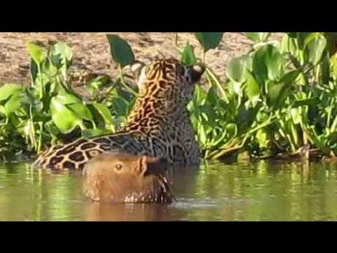 Flagra no Pantanal: On ça pintada ataca capivara  * Jaguar attacks capybara