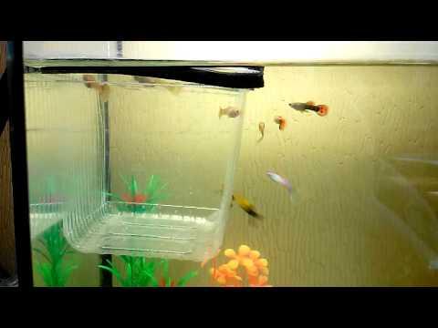 Отсадник в общем аквариуме своими руками
