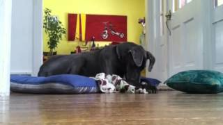 Smartest Great Dane