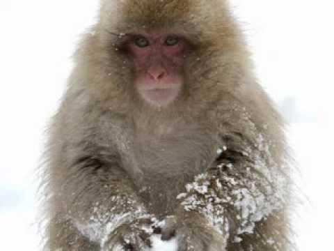 Monkey Making Snowball Monkeys Snowball Fight