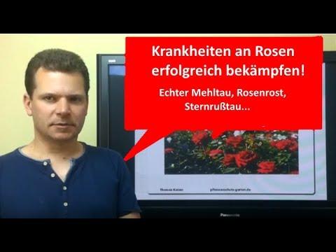 Krankheiten an Rosen erfolgreich bekämpfen