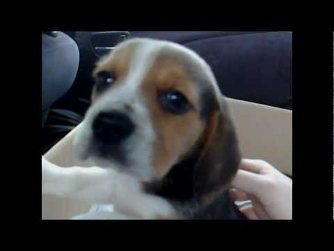ozzy the cute 8 week old beagle puppie