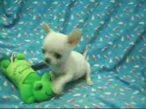 芝娃娃 Chihuahua Music Videos