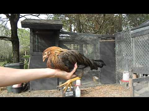 How to tell a hen from a rooster with 2 month old chicks chickens