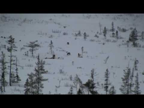 Pack of Wild Eastern Wolves in Algonquin Provincial Park (www.algonquinpark.on.ca)