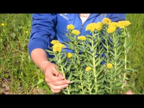 0 - Золотий корінь(трава) – корисні властивості і застосування золотого кореня, настій і настоянка золотого кореня