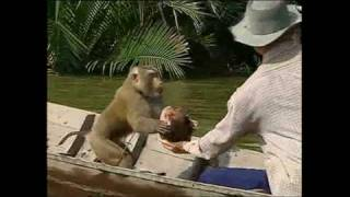Monkeys trained to pick coconuts