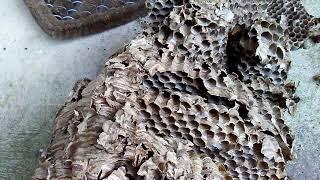 European Hornet Nest Analysis