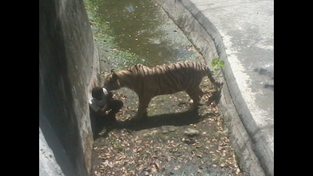 Tigers Eating Prey Tiger Eating Man in Delhi Zoo