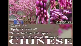 Chinese Redbud Tree Seeds - Cercis chinensis Seeds  on  www.MySeeds.Co