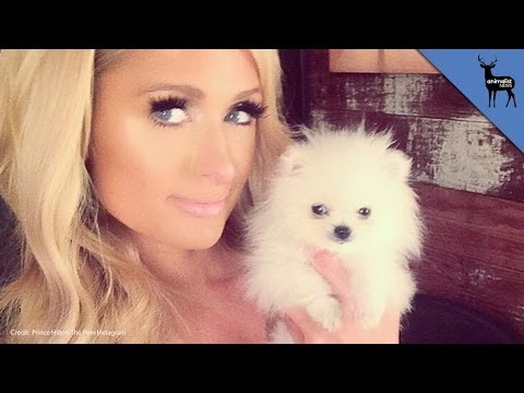 Paris Hilton Buys World's Smallest Pomeranian