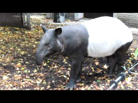 This is what a Tapir sounds like.....