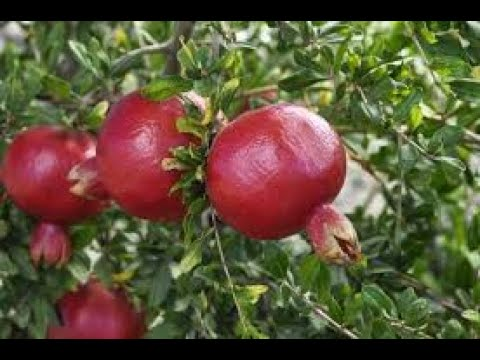 Programme on Integrated Organic farming.Farmer's experience in Pomegranate cultivation.