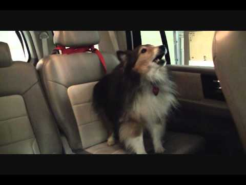 Poor rescue sheltie scared of rides in a car...