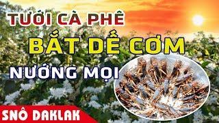 Tưới cà phê , bắt dế cơm nướng ăn - Sno DakLak
