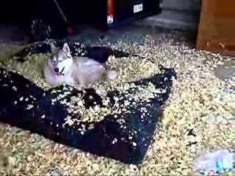 Husky S Destroy A Futon Mattress Youtube