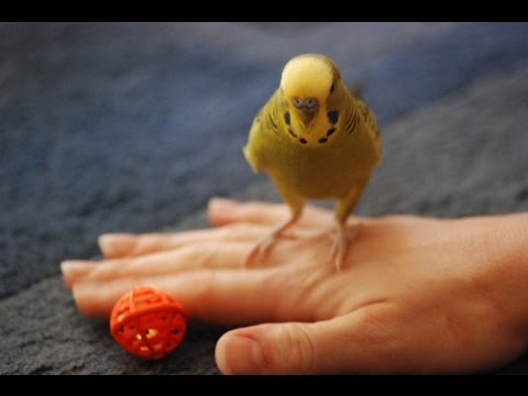 "Bird Dancing !! "" Funny Video ""  跳舞的鳥 ダンスの鳥"