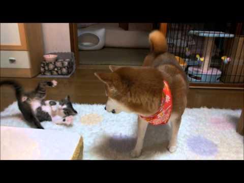 柴犬と子ネコが初めて遊べた!