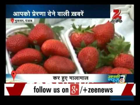 Three farmers start strawberry cultivation in Punjab
