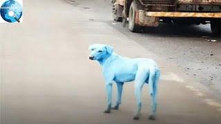 Phát hiện chú chó lông xanh độc nhất và lý do đằng sau khiến ai cũng xót xa