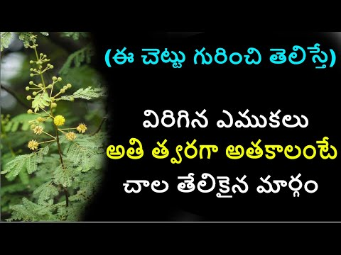 thumma chettu upayogalu|thumma banka kaya | arabic tree in telugu | nalla thumma benefits uses